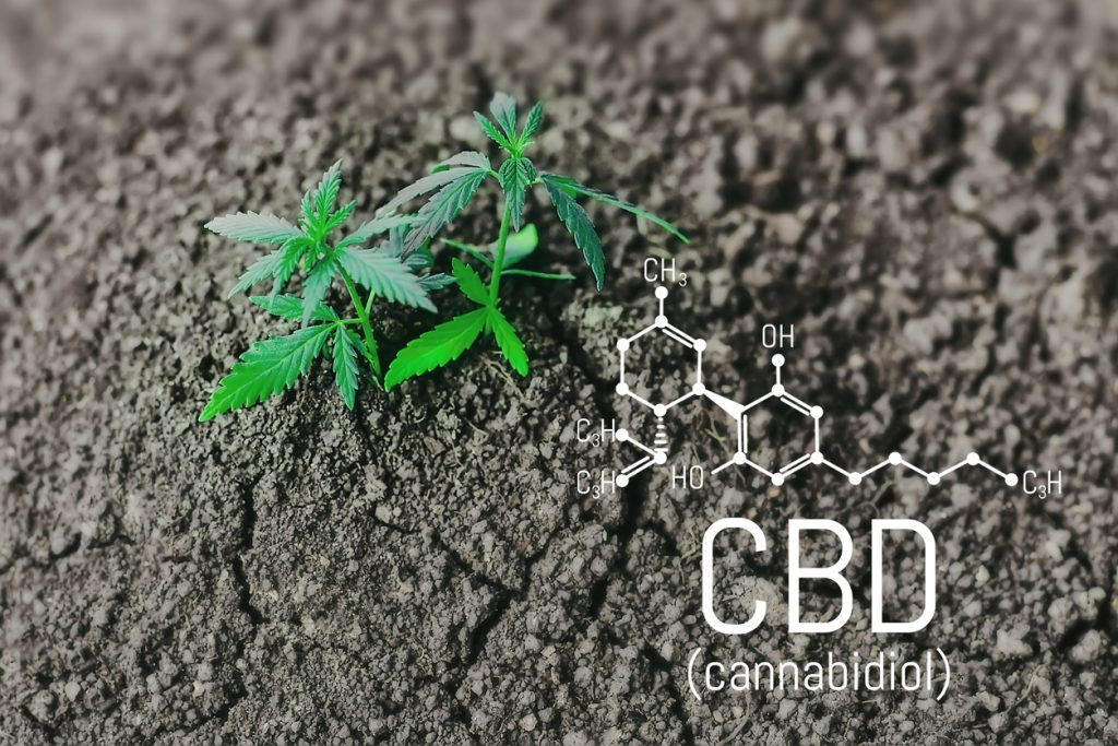 Growing natural marijuana with small seedlings from soil for the production of cannabis essential oil in medicinal preparations. CBD oil cannabidiol formula