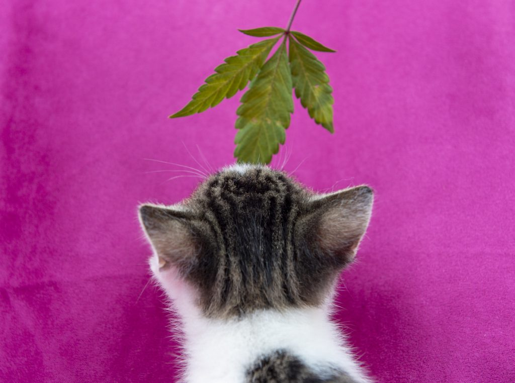 Small cat smelling a cannabis leaf on pink background, marijuana for pets concept