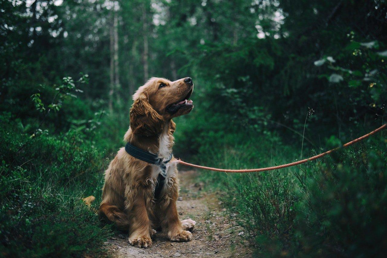 english cocker spaniel puppy sitting on ground in trail