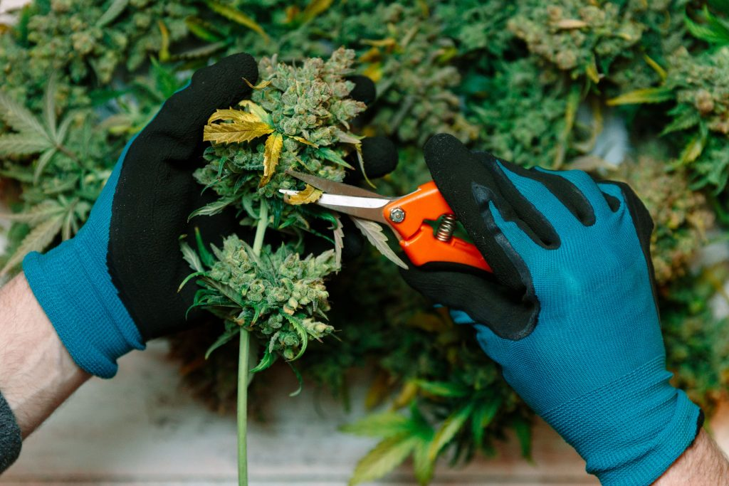 person trimming cbd flower buds
