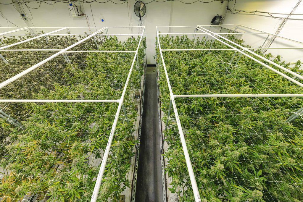 high-cbd-hemp-plants-grow-operation